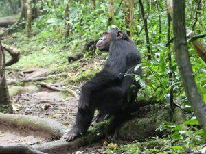 Safari de chimpanzés en Ouganda