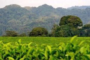 Parc national de la forêt de Kibale et plantation de thé