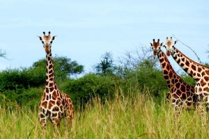 Murchison falls National Park 20