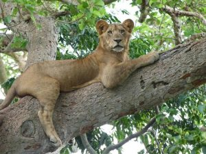 Lion sur l'arbre dans le parc national Queen Elizabeth. Safari en Ouganda
