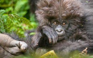 11-Days-Gorilla-Tracking-Safari-labaafrica-com