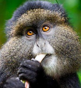 4 Days Gorillas and Golden Monkey Safari
