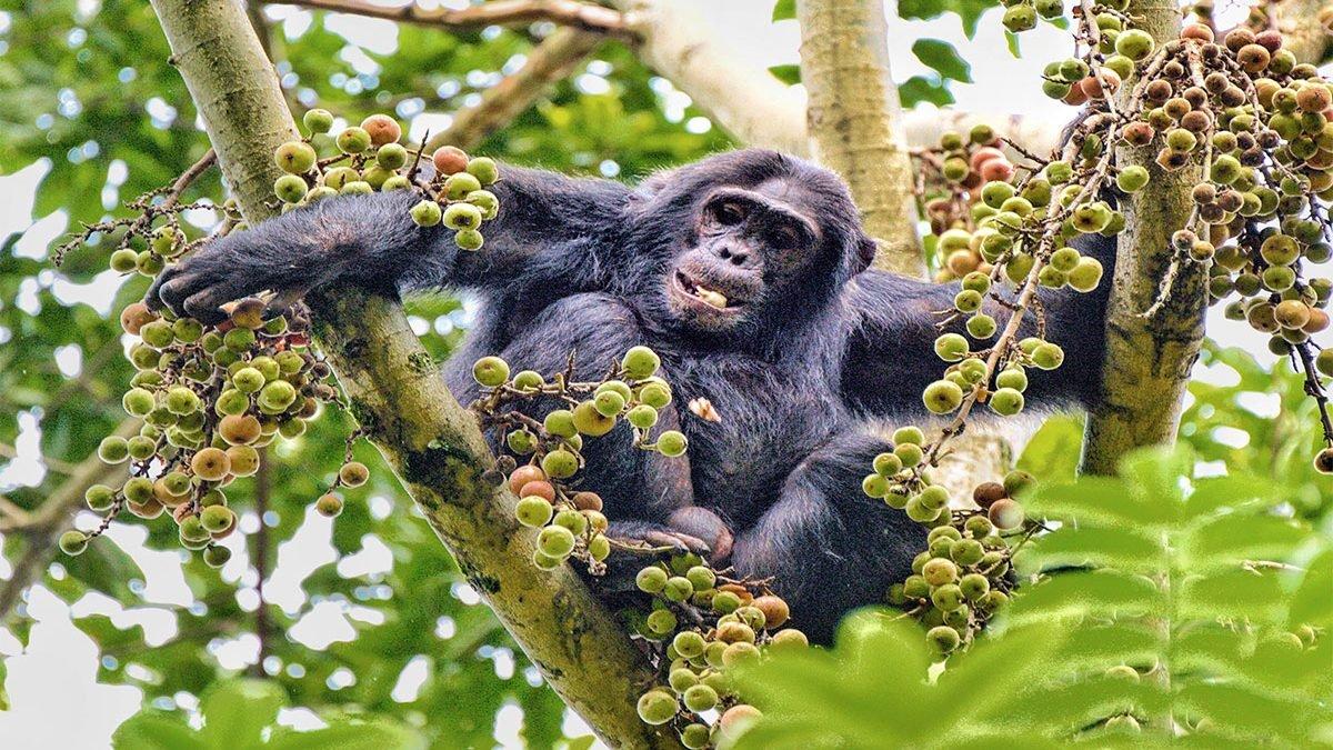 Safari-de-chimpancés-labaafrica-viajar-a-uganda
